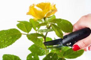 Poda de rosal en mata
