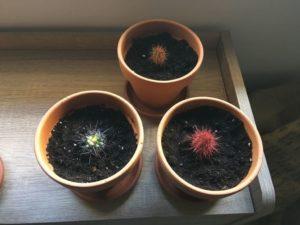 cactus-trasplantados