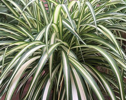 Cinta o malamadre, plantas de interior