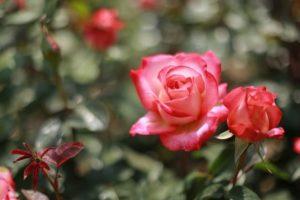 Rosas en macetas