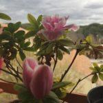 Plantas tóxicas azalea
