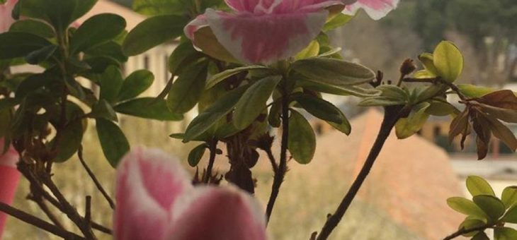 Azalea o Rododendro