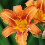 Plantas tóxicas Liliáceas y hemerocalis